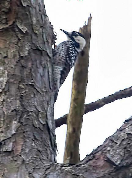 Red-cockaded Woodpecker Photo by Dan Tallman