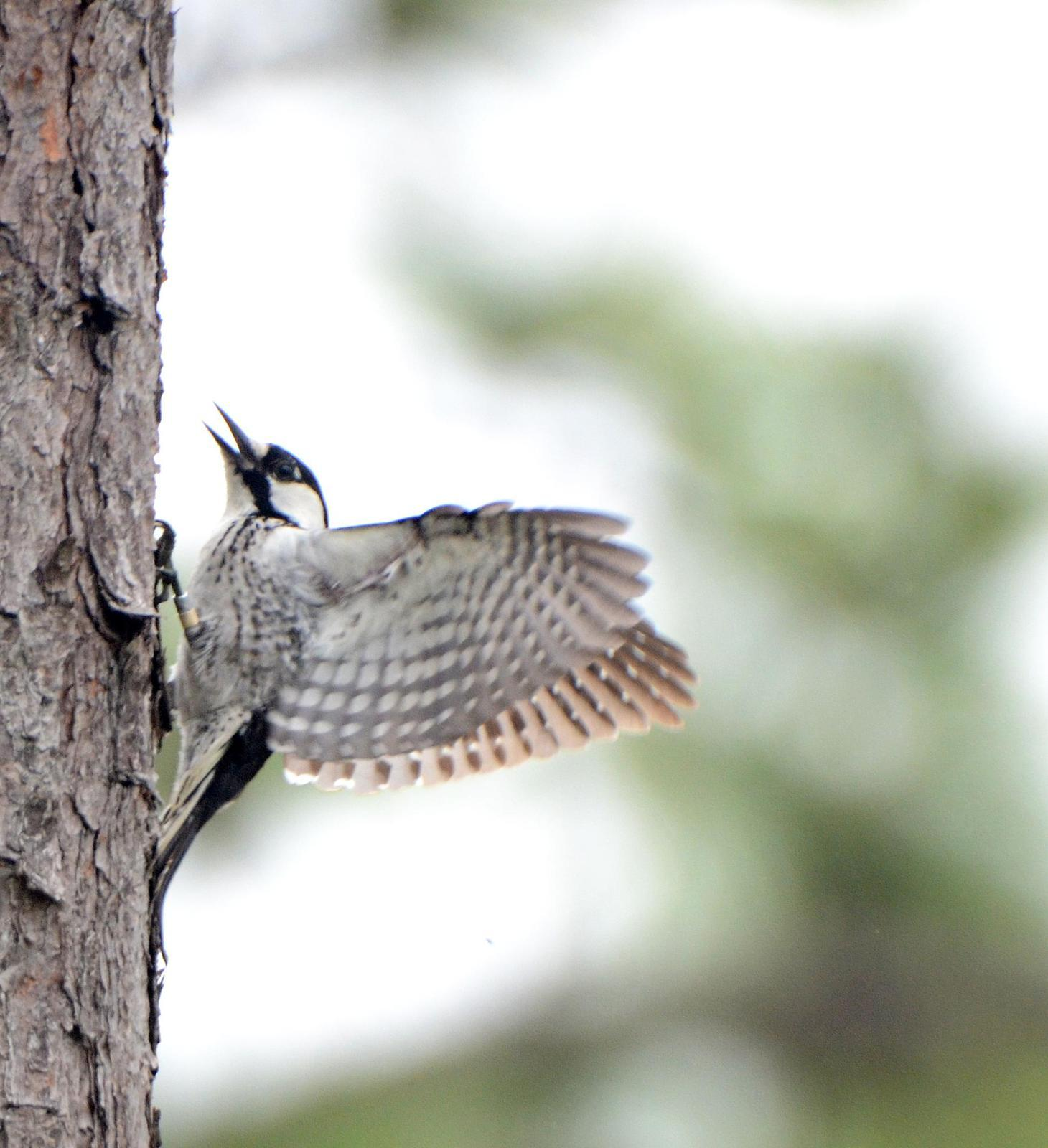 Red-cockaded Woodpecker Photo by Steven Mlodinow