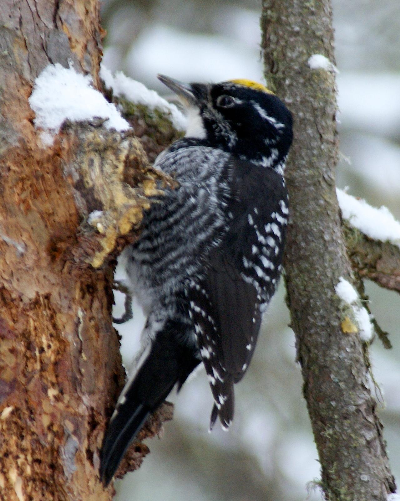 American Three-toed Woodpecker Photo by Gerald Hoekstra