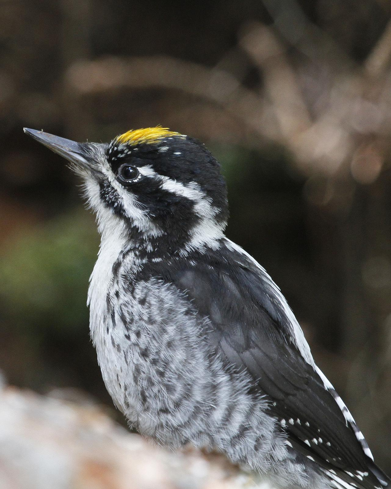 American Three-toed Woodpecker Photo by Isaac Sanchez