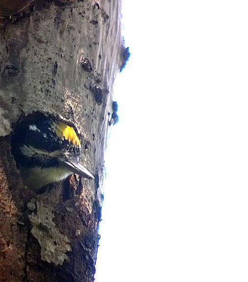 American Three-toed Woodpecker Photo by Dan Tallman