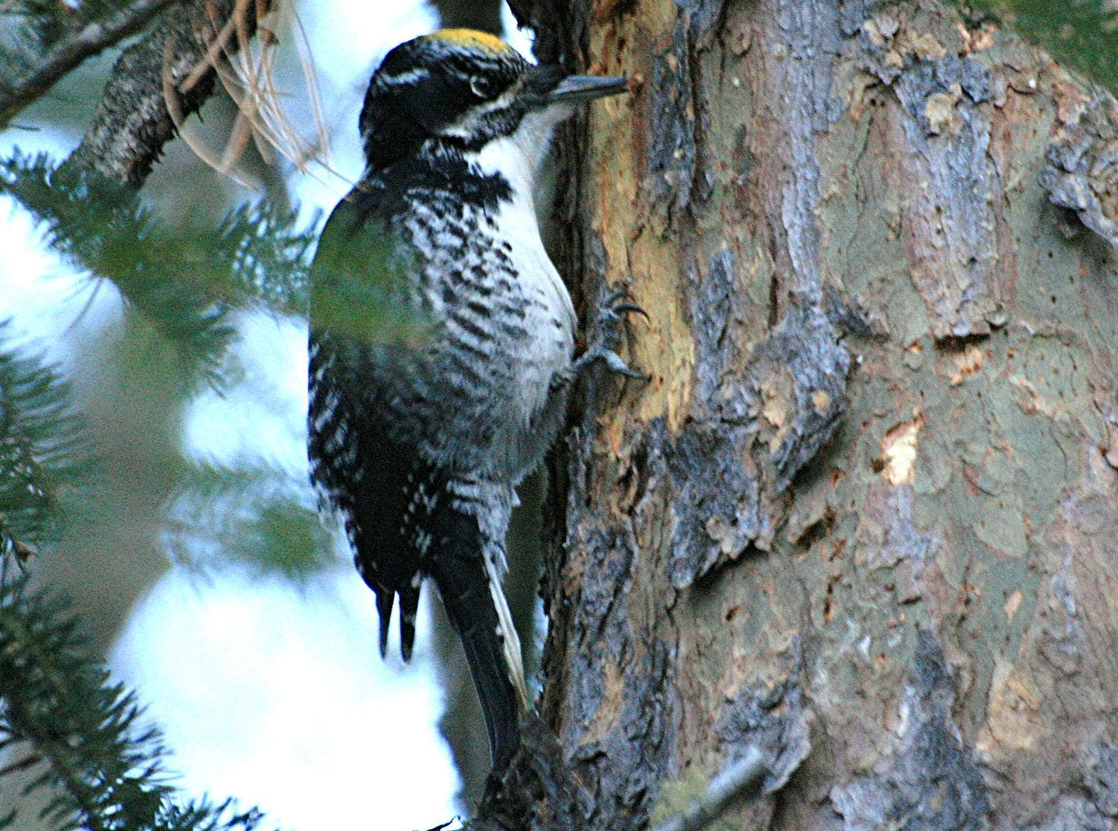 American Three-toed Woodpecker Photo by Aaron Hywarren