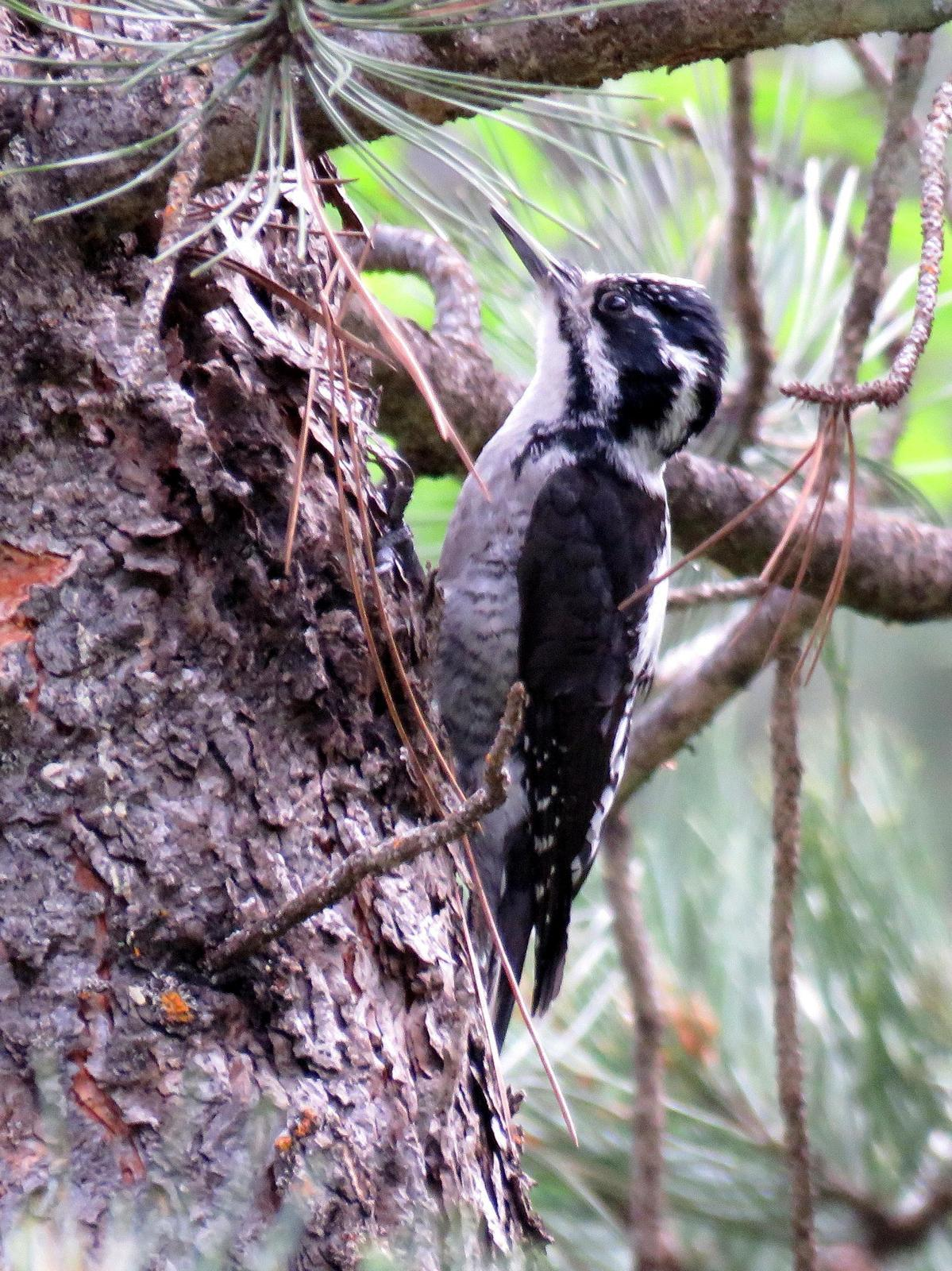 American Three-toed Woodpecker Photo by Kent Jensen