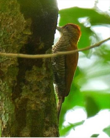 Red-rumped Woodpecker Photo by Francesco Veronesi