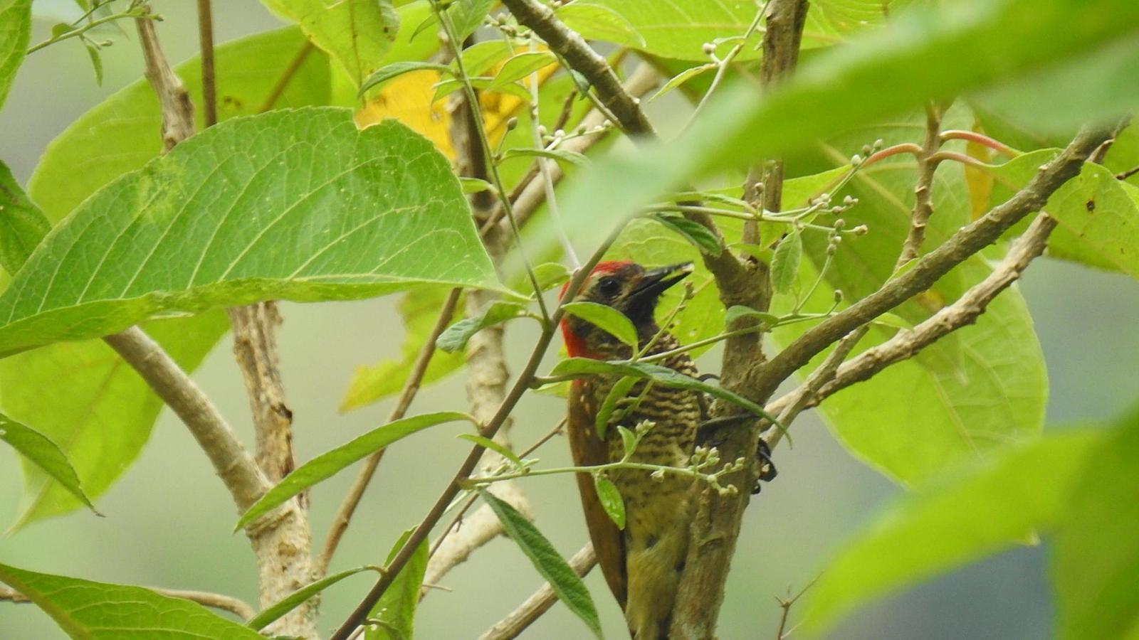 Yellow-vented Woodpecker Photo by Julio Delgado