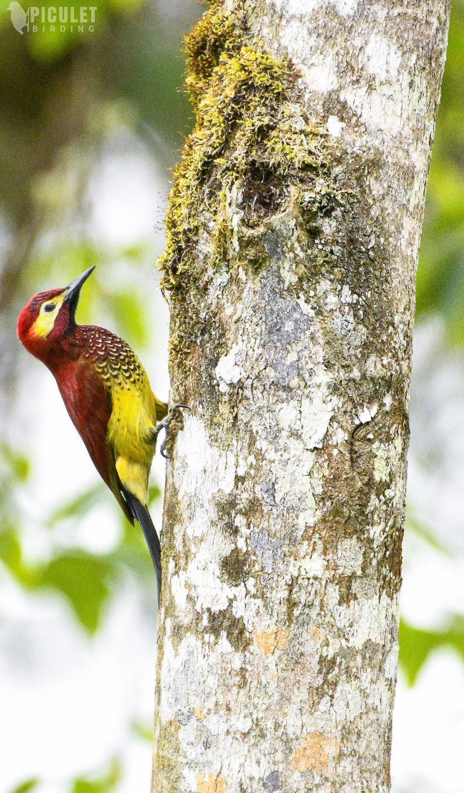 Crimson-mantled Woodpecker Photo by Julio Delgado