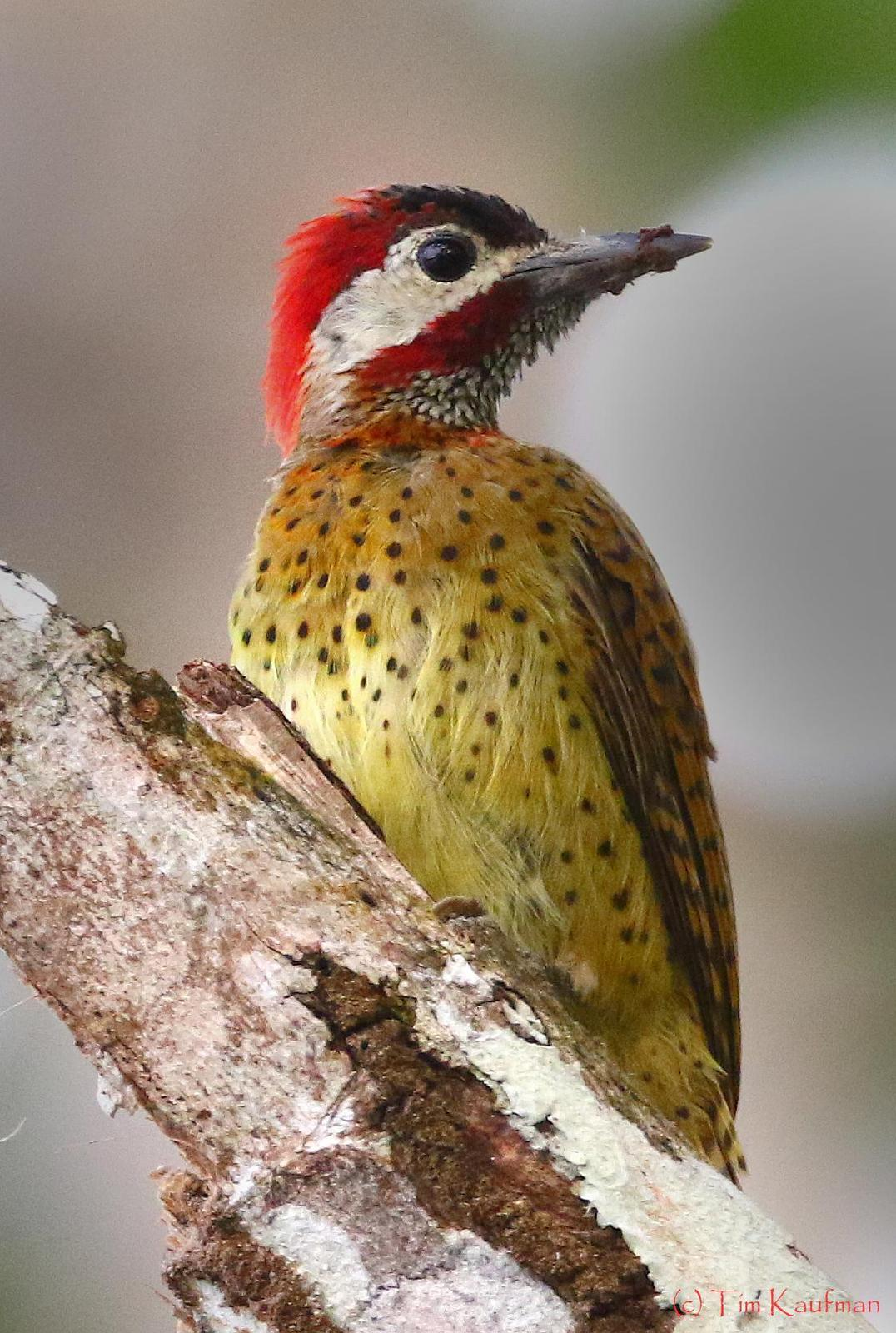 Spot-breasted Woodpecker Photo by Tim Kaufman