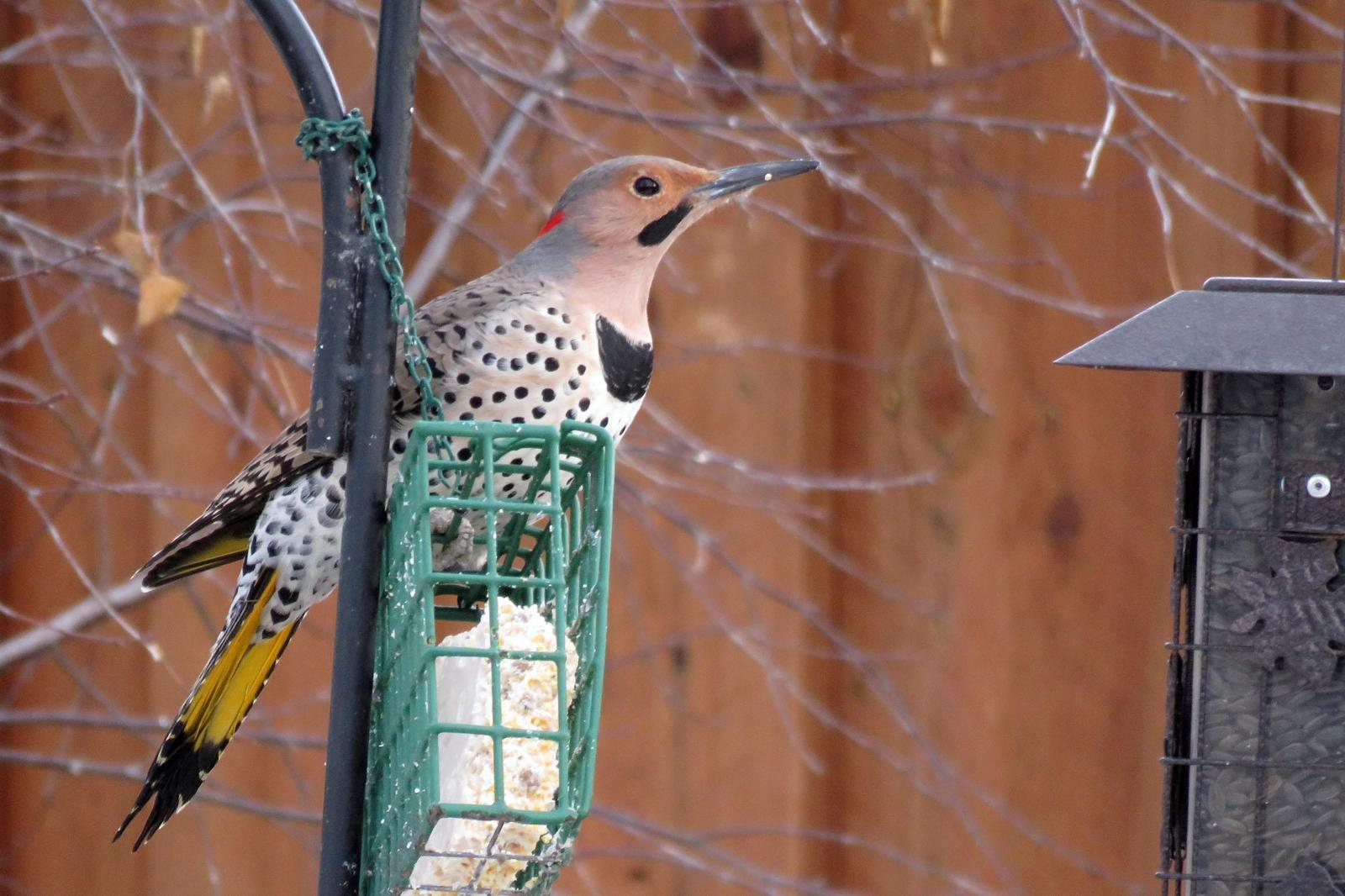 Northern Flicker (Yellow-shafted) Photo by Kelly Preheim