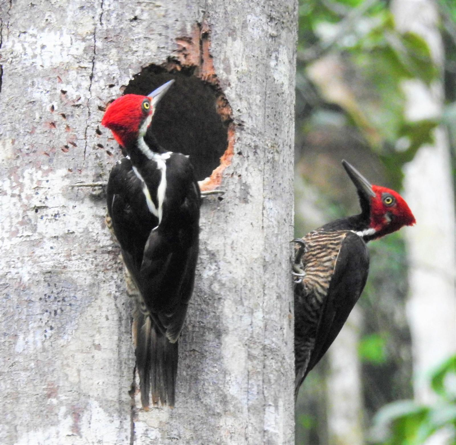 Guayaquil Woodpecker Photo by John Licharson