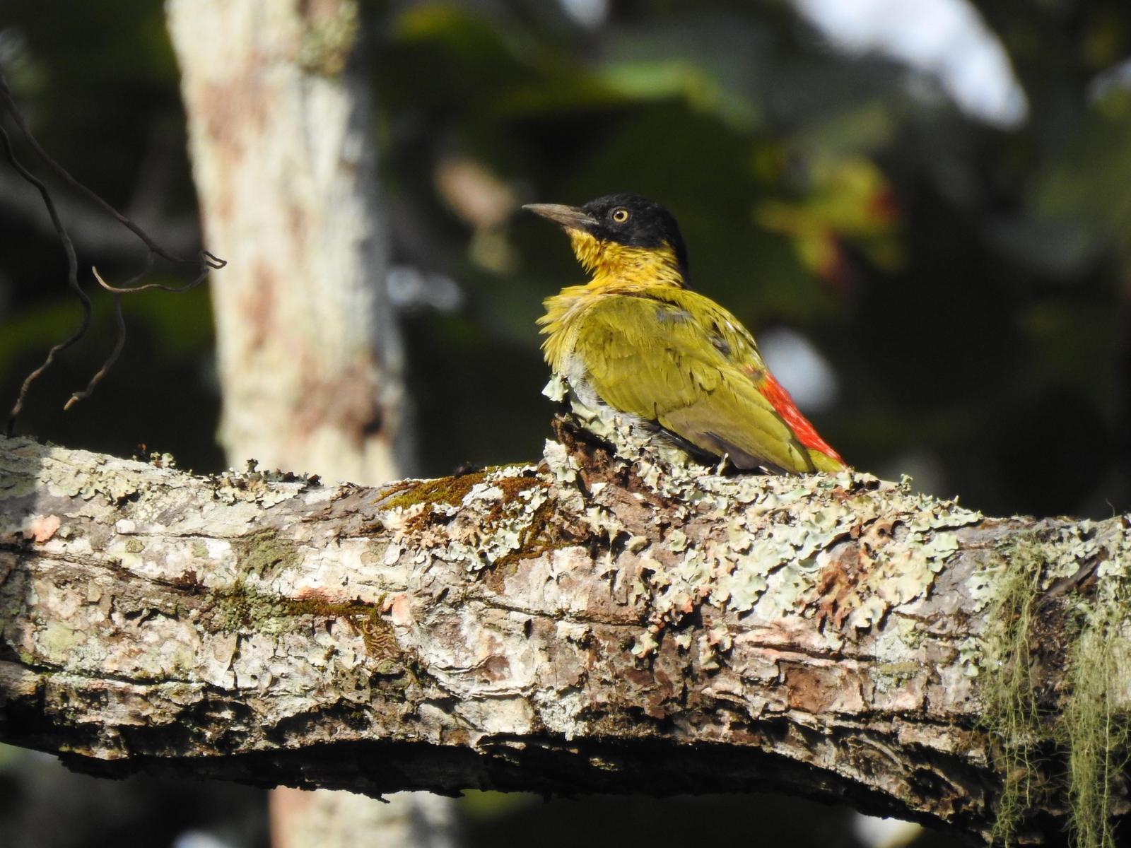 Black-headed Woodpecker Photo by Daniel Case