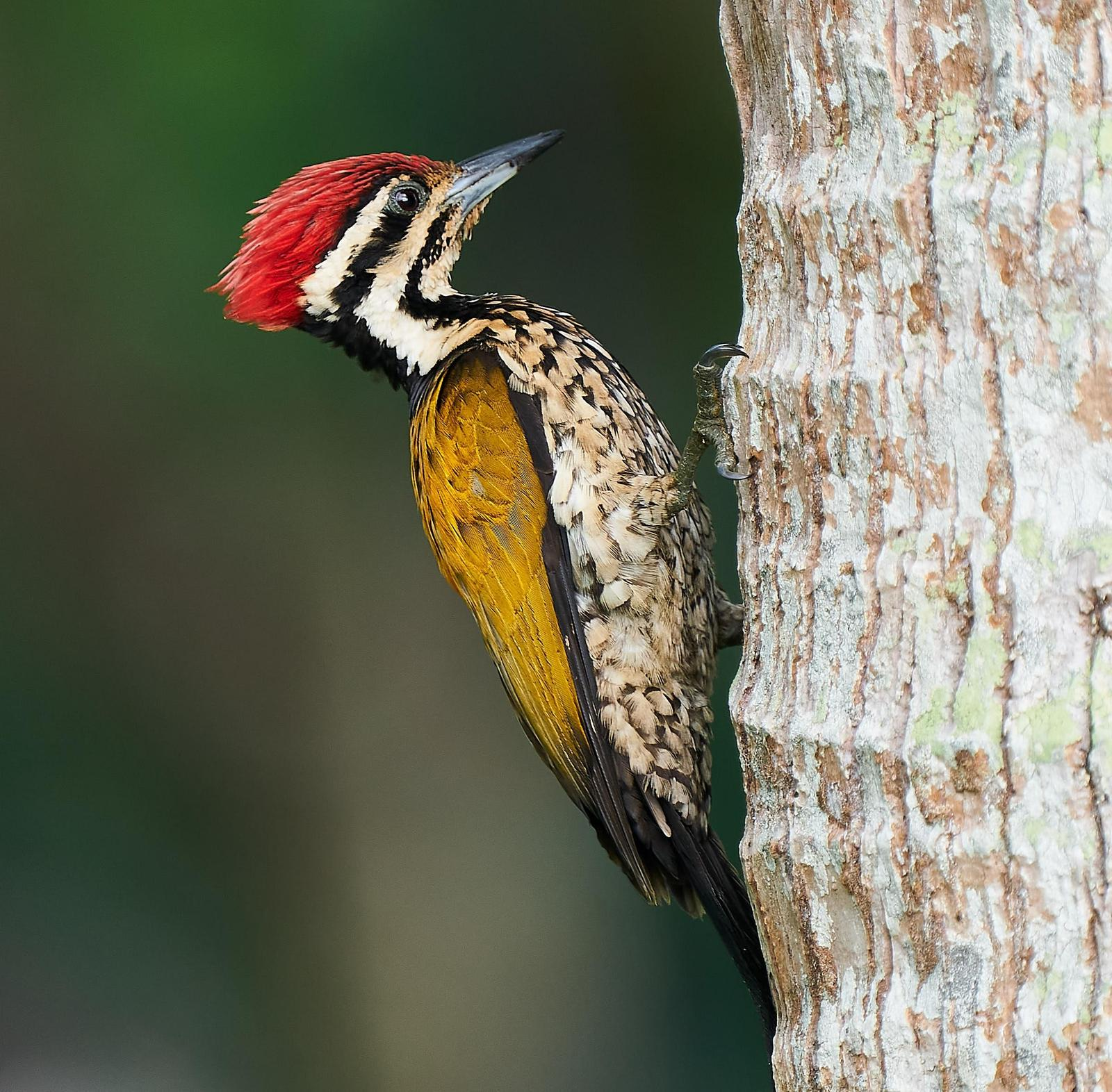 Common Flameback Photo by Steven Cheong
