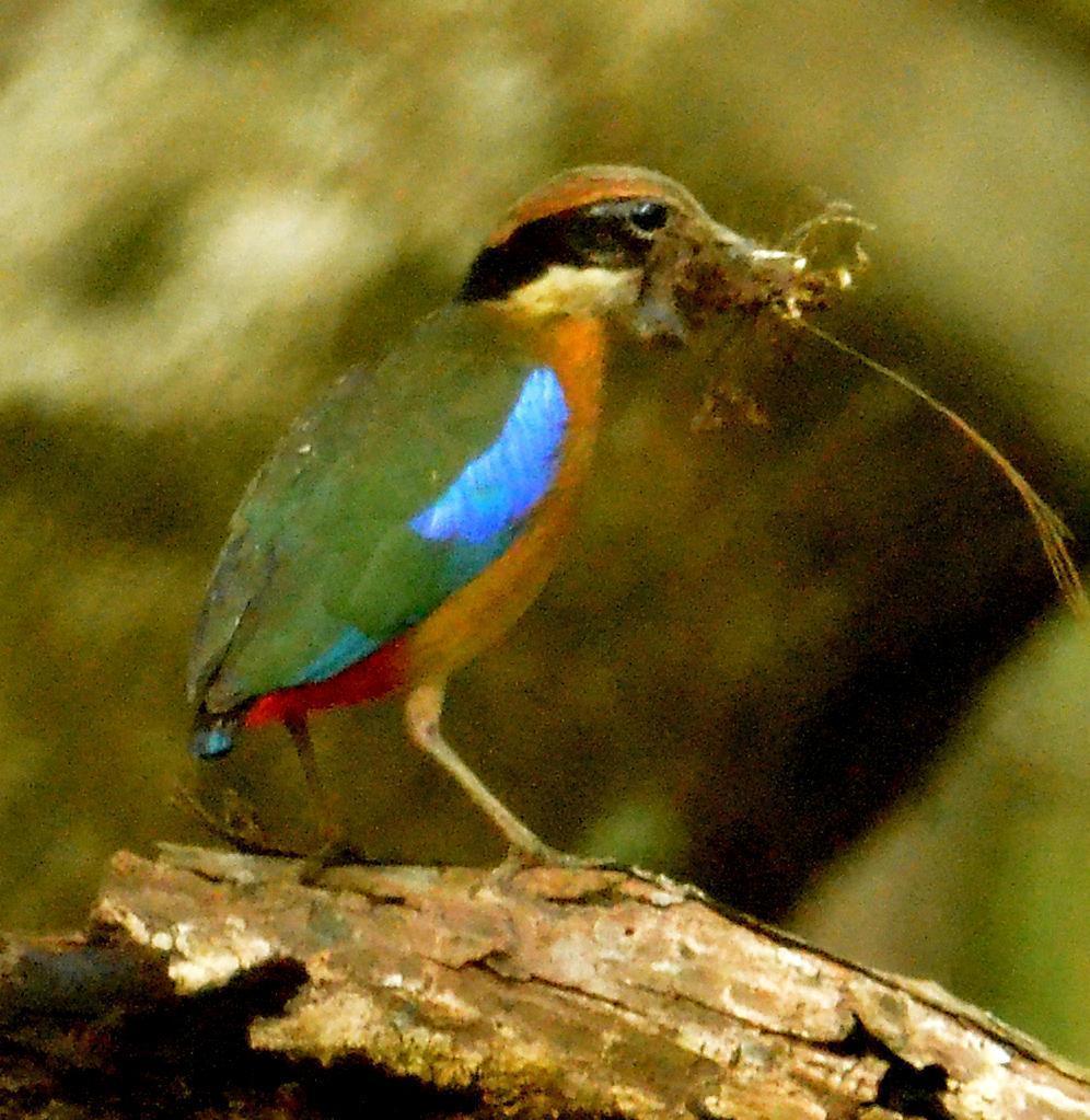 Mangrove Pitta Photo by Uthai Cheummarung