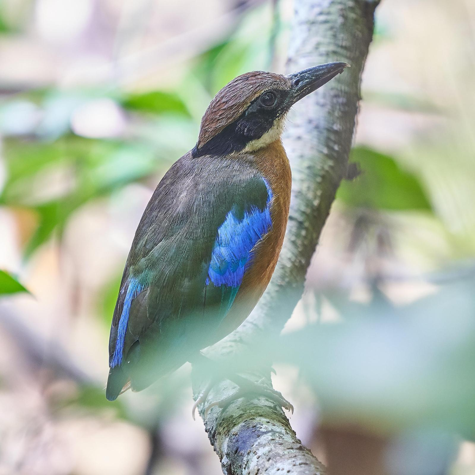 Mangrove Pitta Photo by Steven Cheong