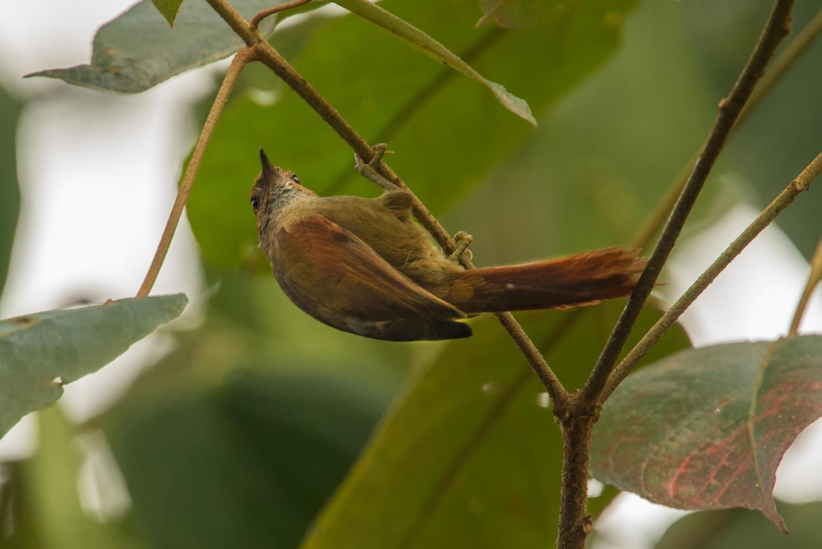 Red-faced Spinetail Photo by Laurence Pellegrini