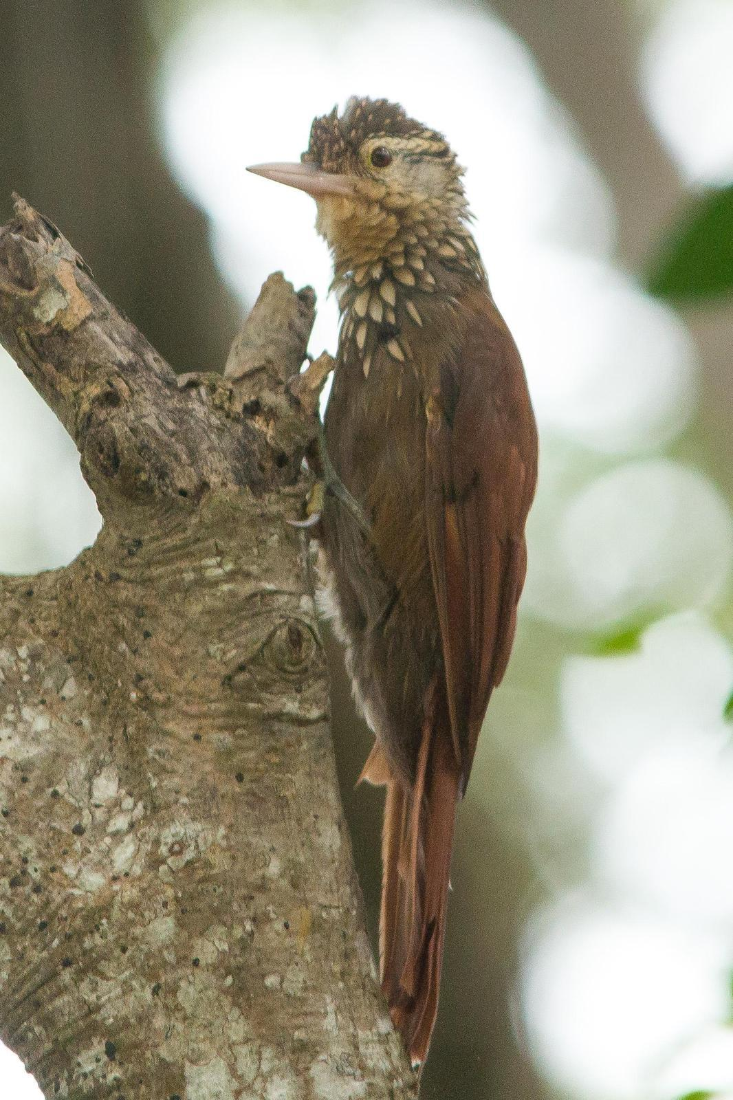 Straight-billed Woodcreeper Photo by Marie-France Rivard