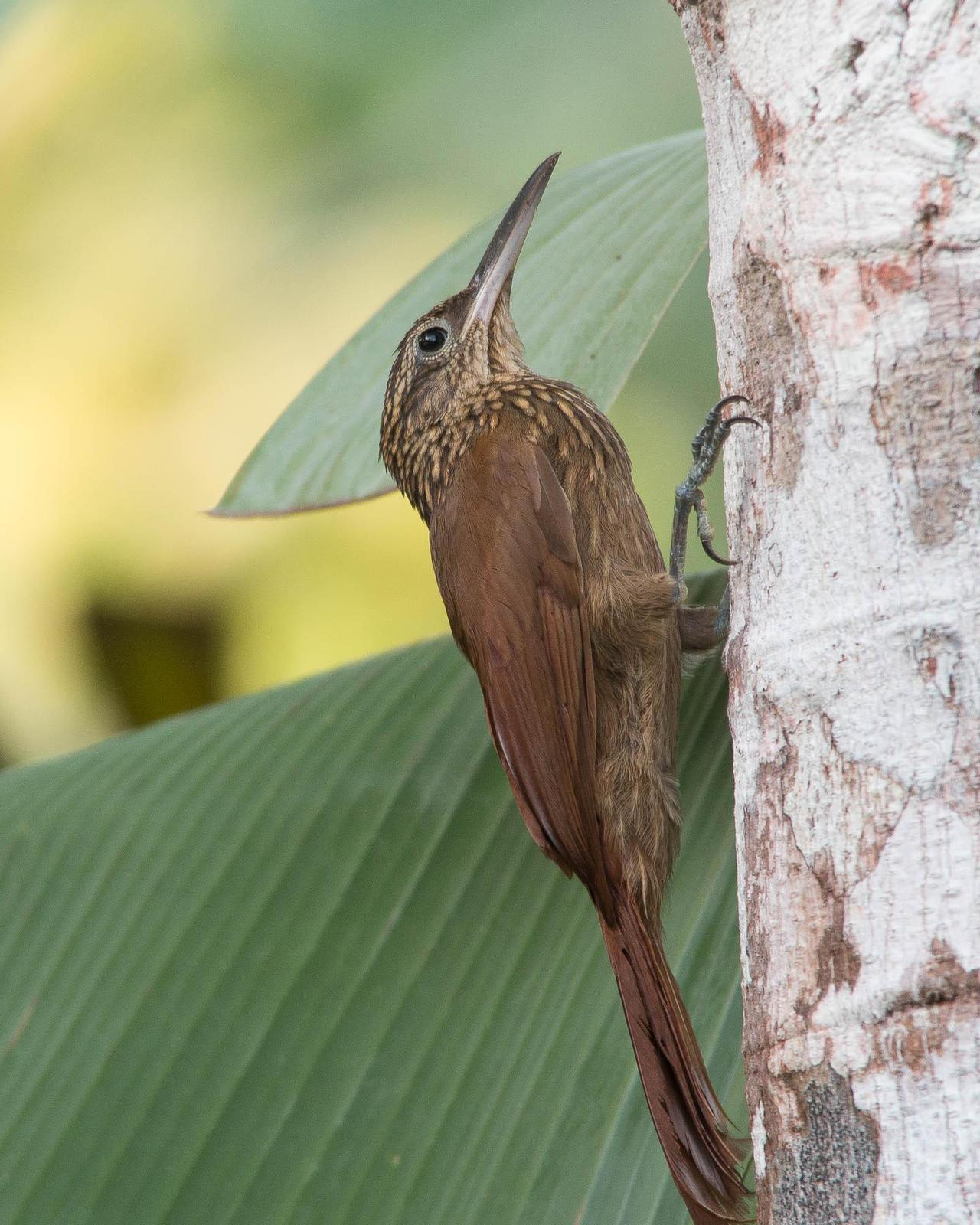 Cocoa Woodcreeper Photo by Marie-France Rivard