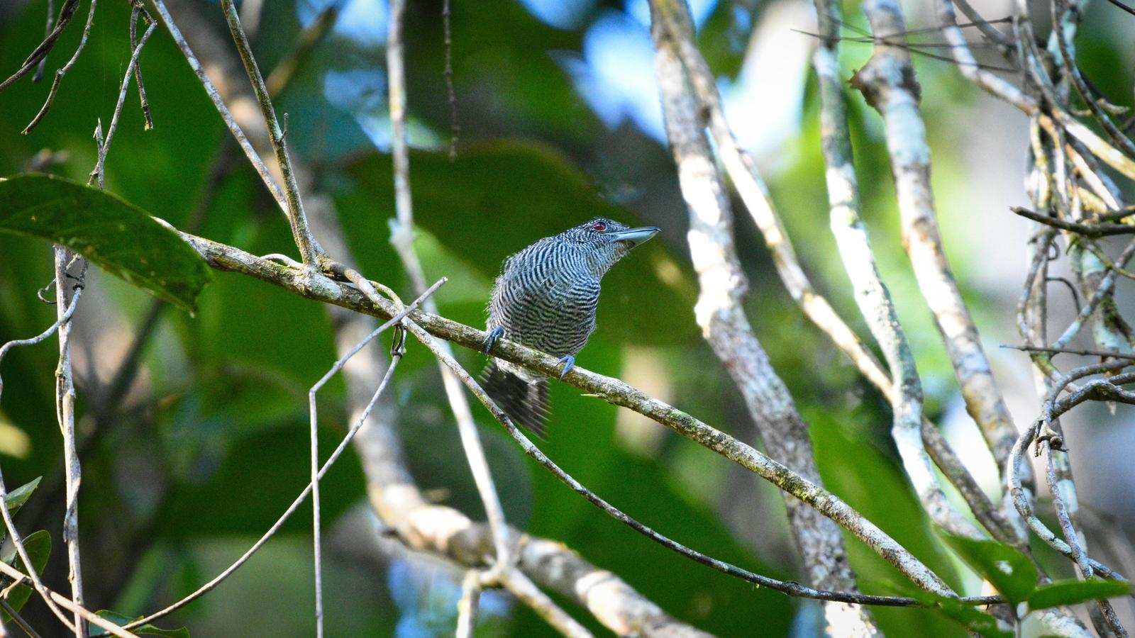 Fasciated Antshrike Photo by Julio Delgado