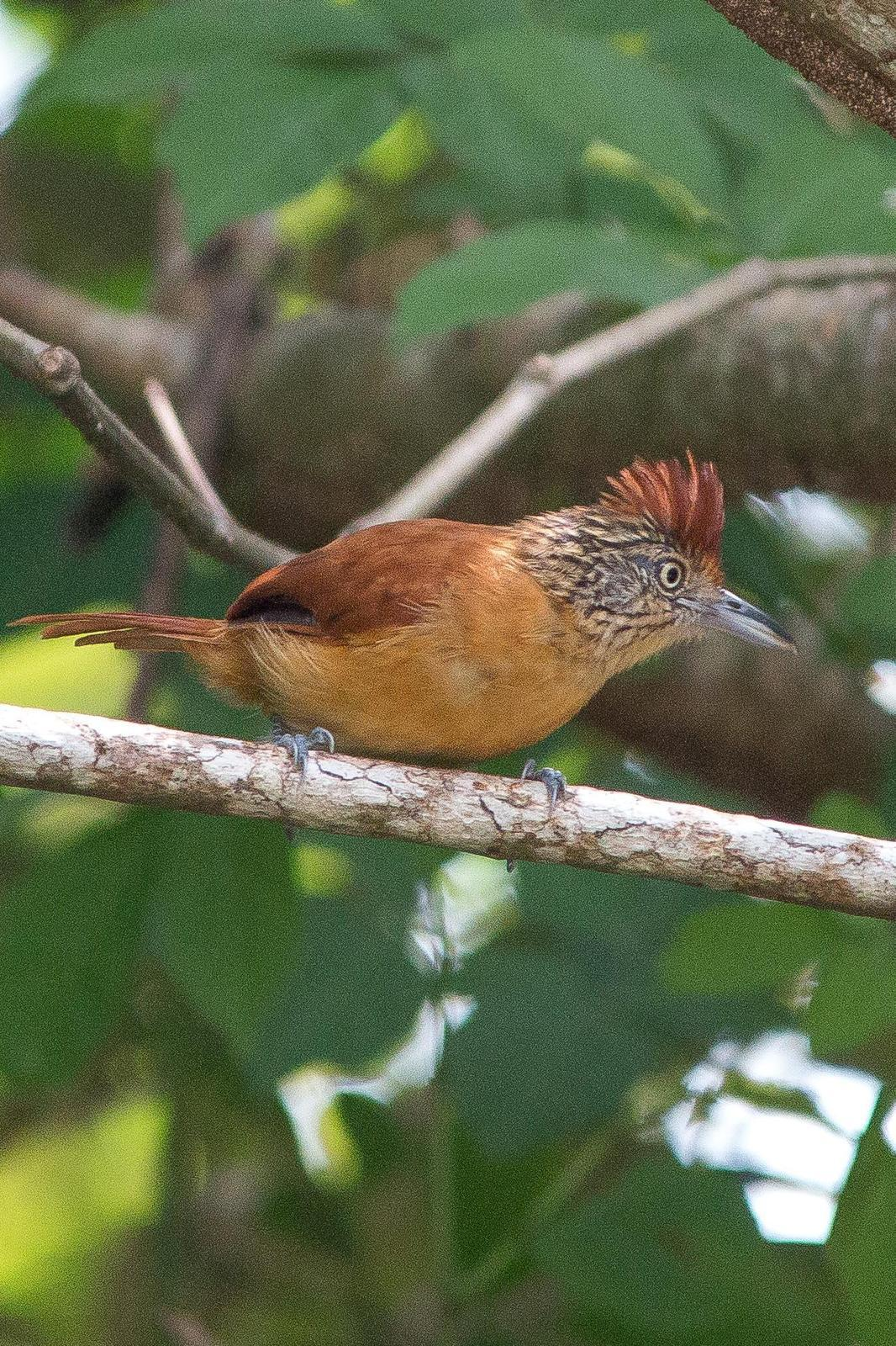 Barred Antshrike Photo by Marie-France Rivard