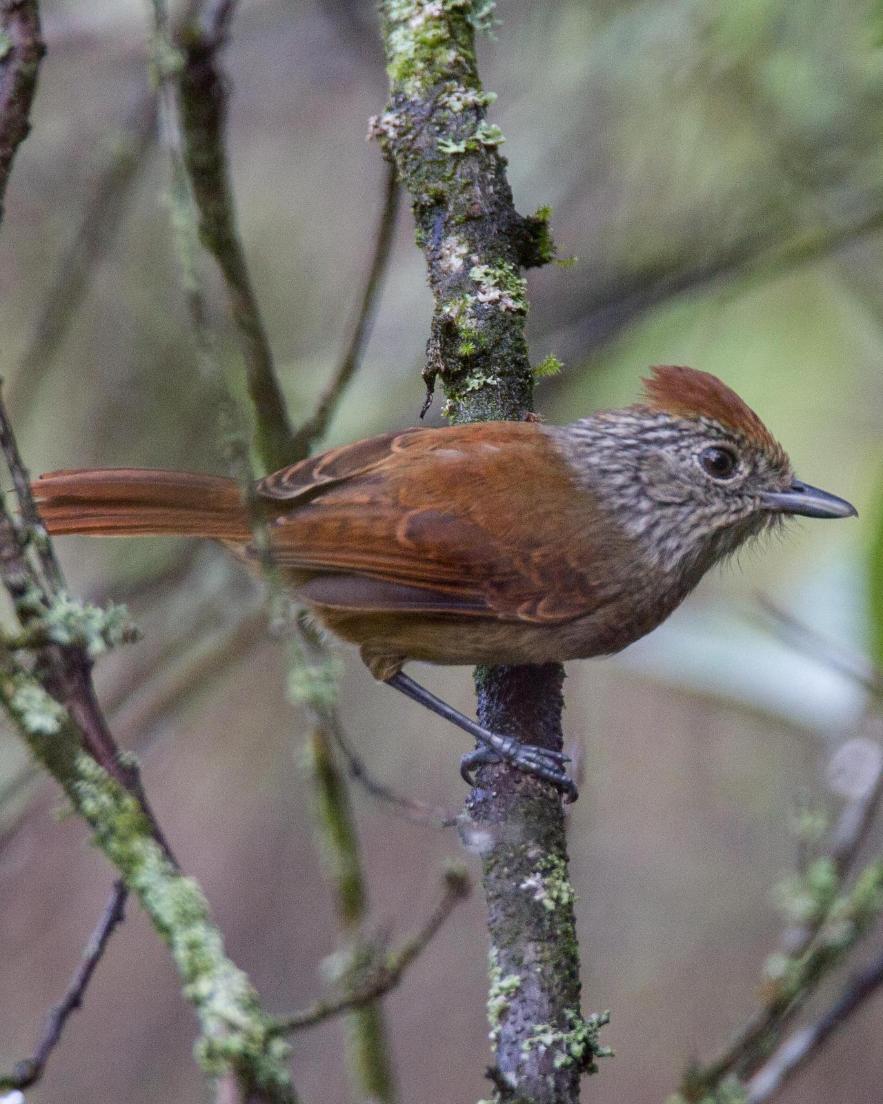 Chapman's Antshrike Photo by Robert Lewis