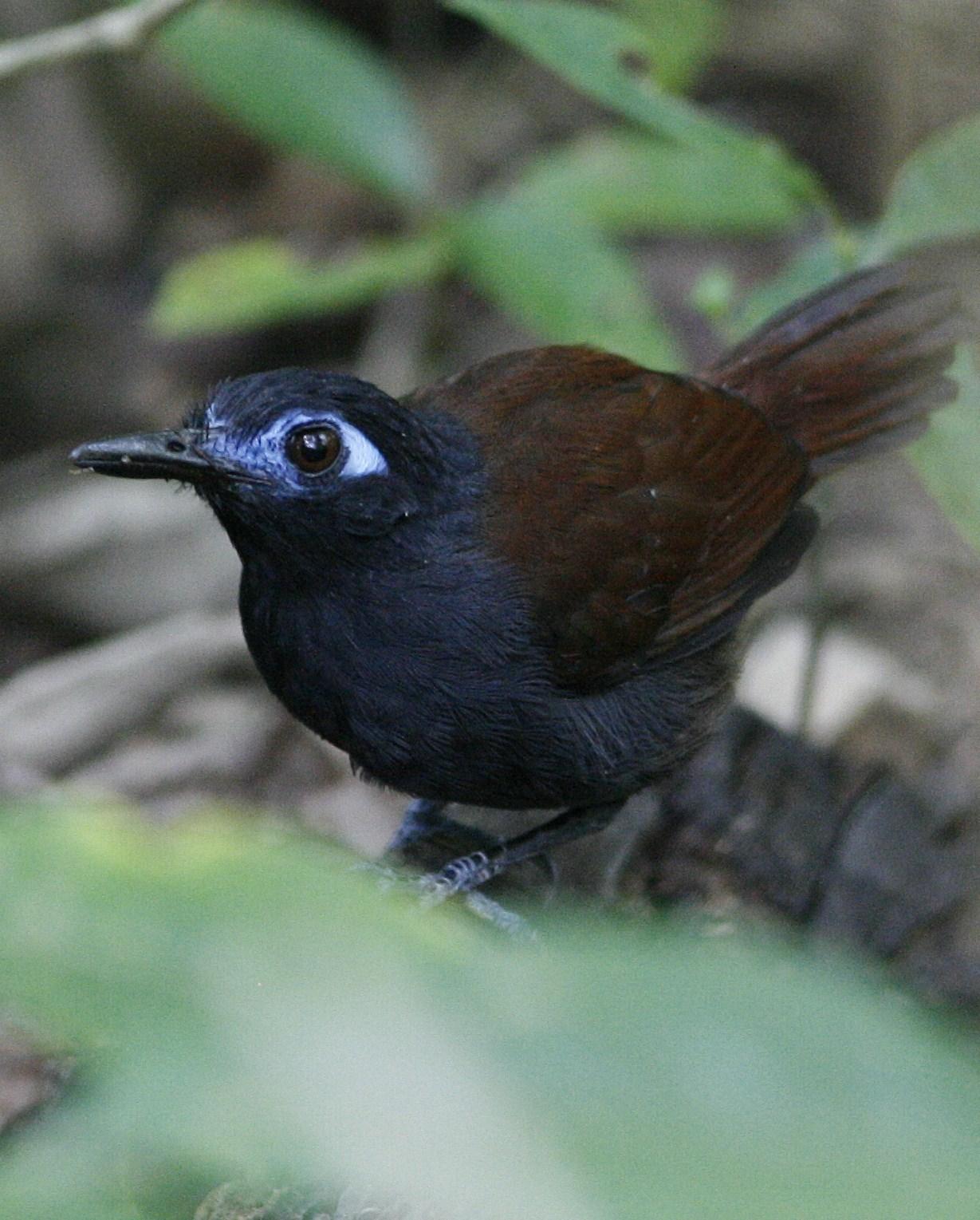 Chestnut-backed Antbird Photo by Oscar Johnson