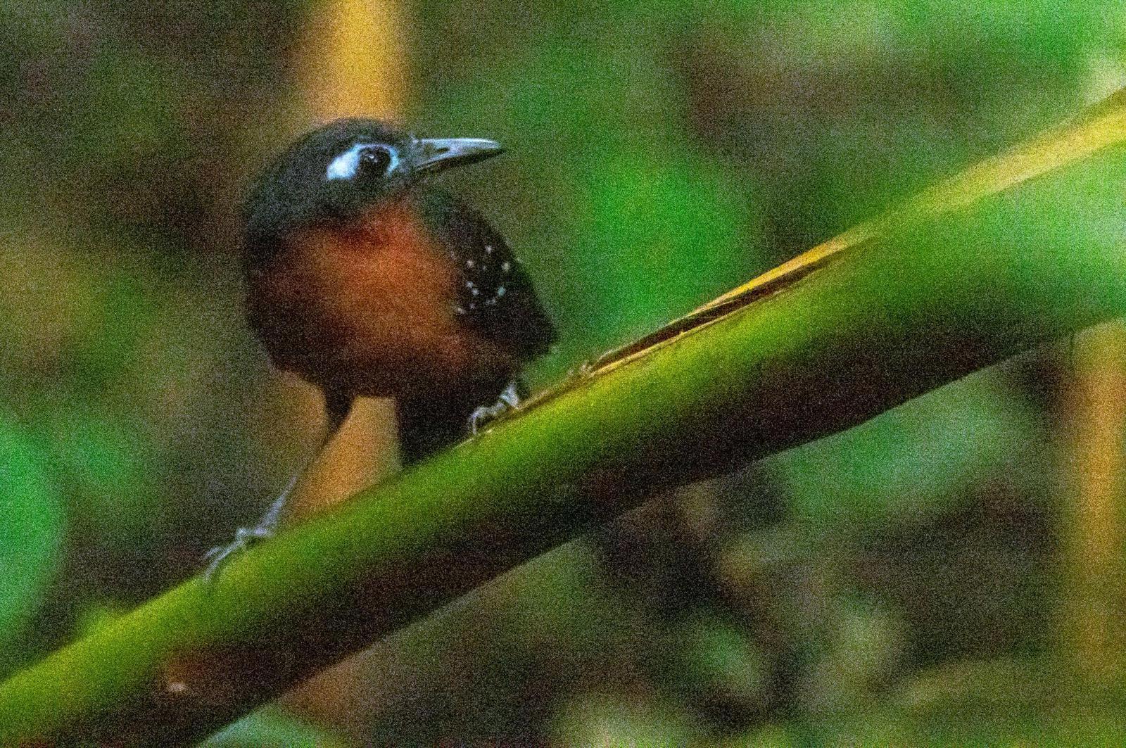 Plumbeous Antbird Photo by Phil Kahler