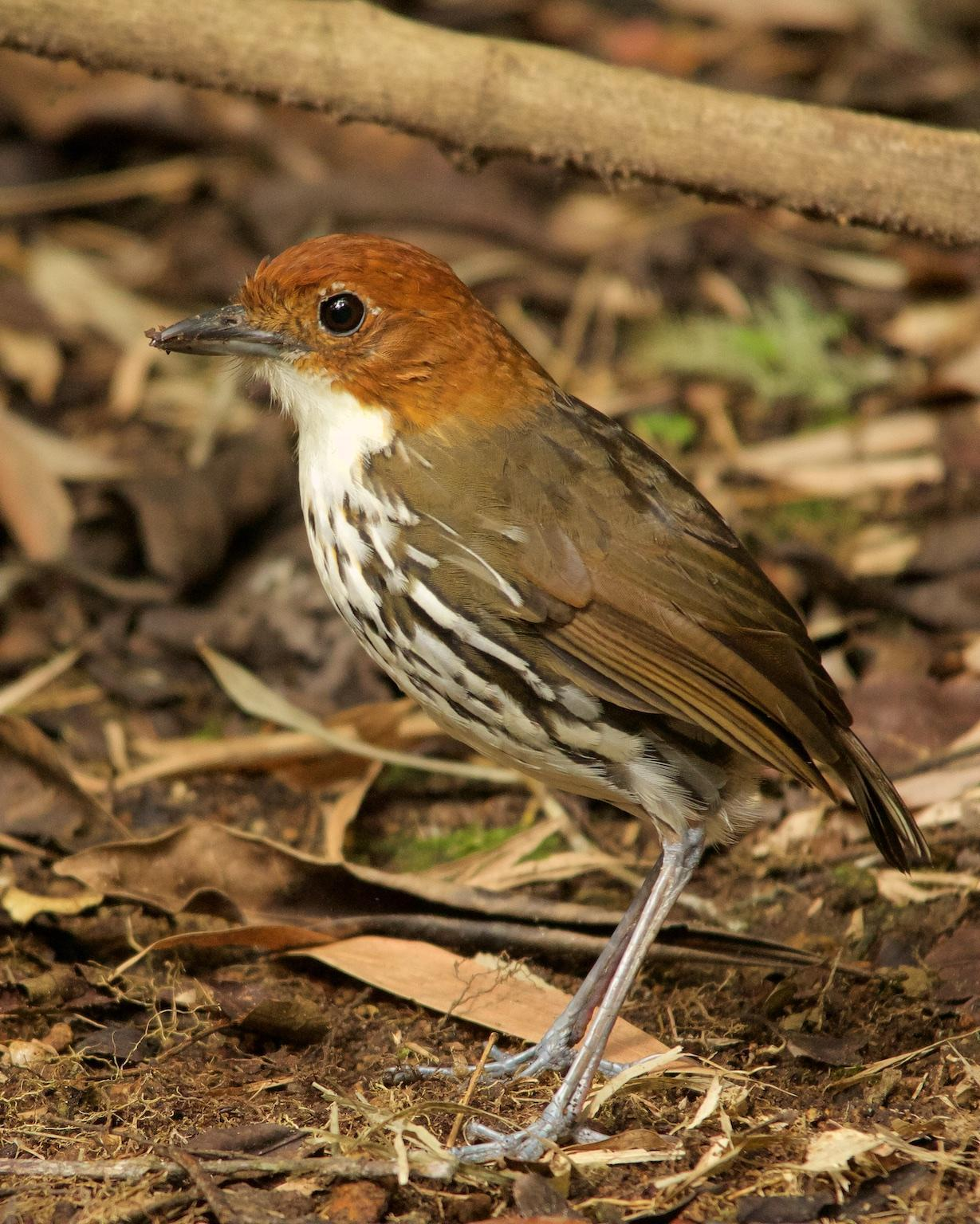 Chestnut-crowned Antpitta Photo by Denis Rivard