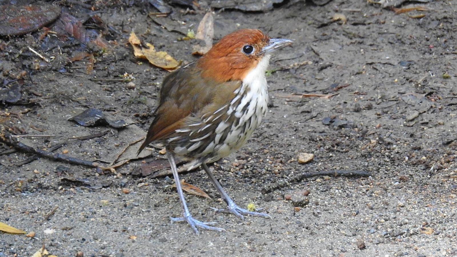Chestnut-crowned Antpitta Photo by Julio Delgado
