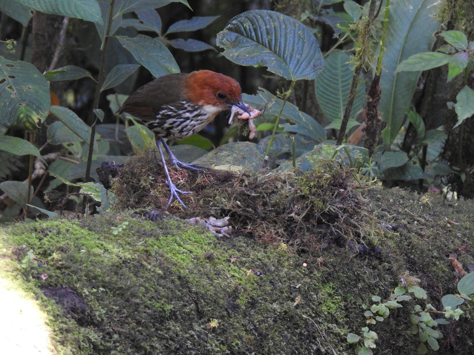 Chestnut-crowned Antpitta Photo by Nancy  O'Hara