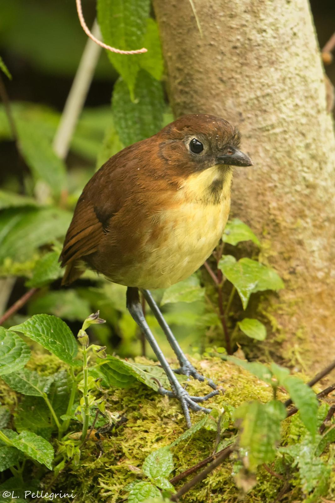Yellow-breasted Antpitta Photo by Laurence Pellegrini