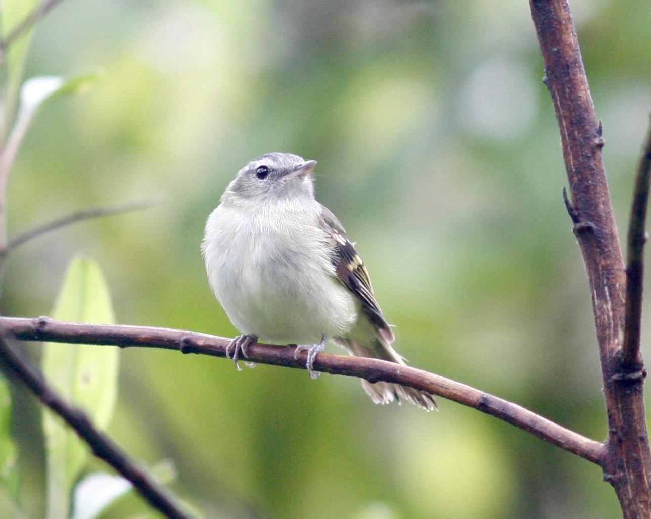Buff-banded Tyrannulet Photo by Andre  Moncrieff