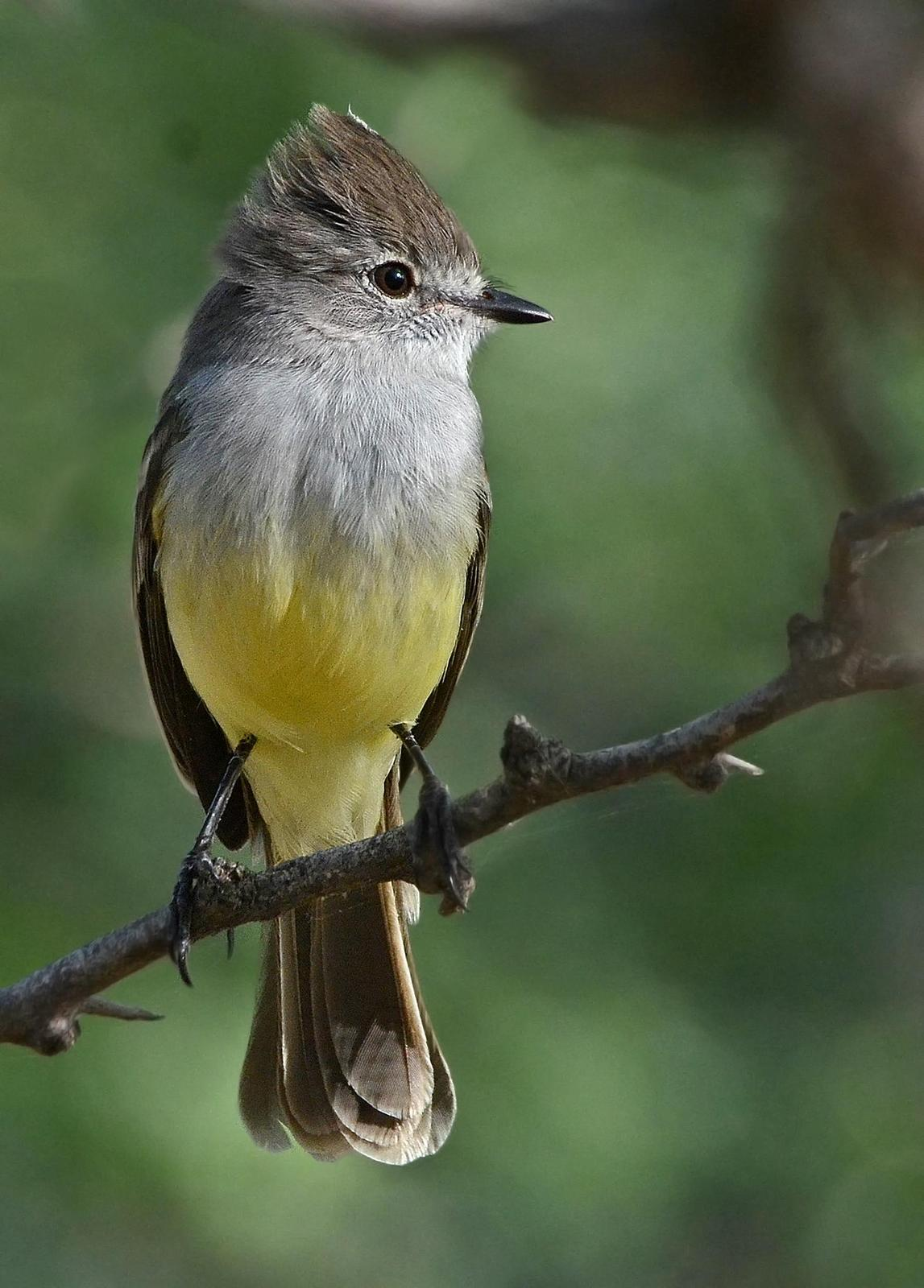 Northern Scrub-Flycatcher Photo by Steven Mlodinow
