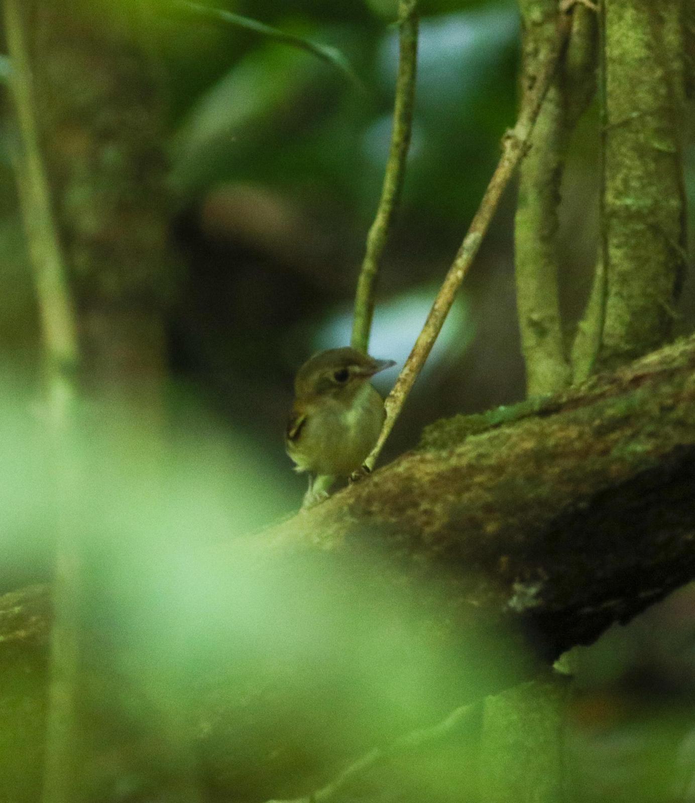 Cinnamon-crested Spadebill Photo by Leonardo Garrigues