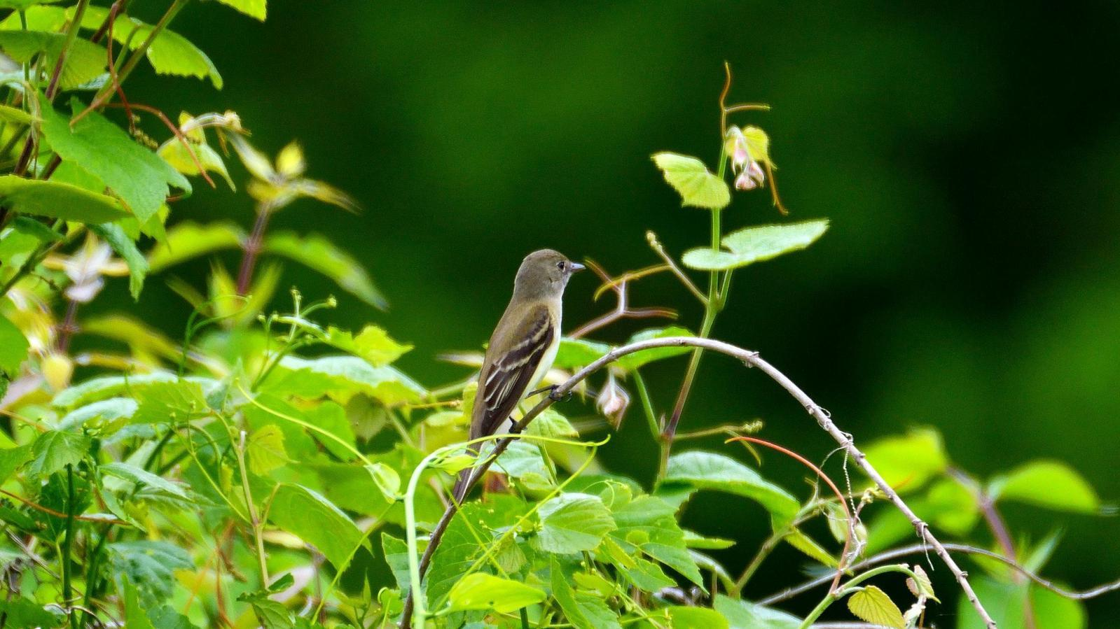 Alder Flycatcher Photo by RM Beck
