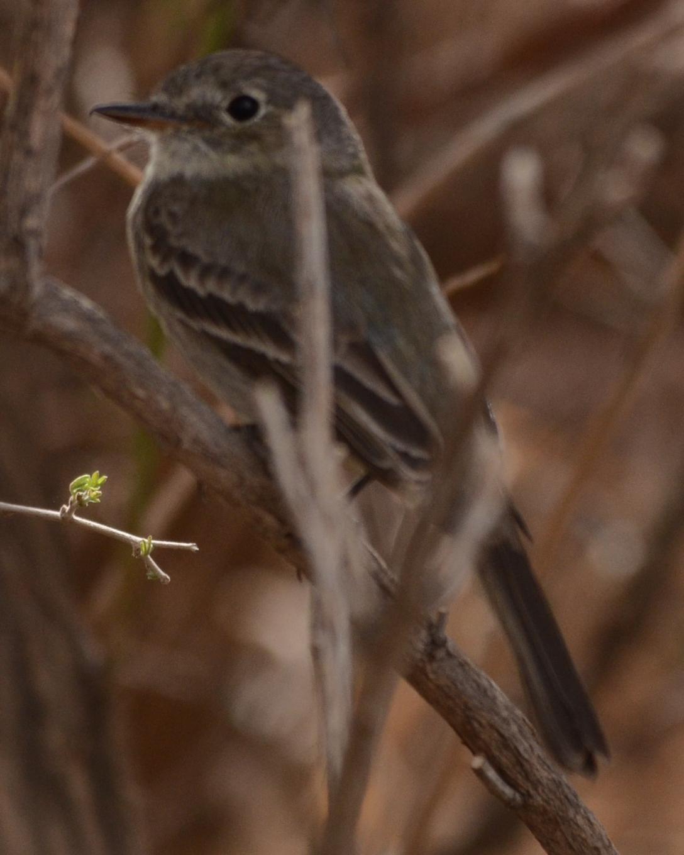 Gray Flycatcher Photo by Dan Belcher
