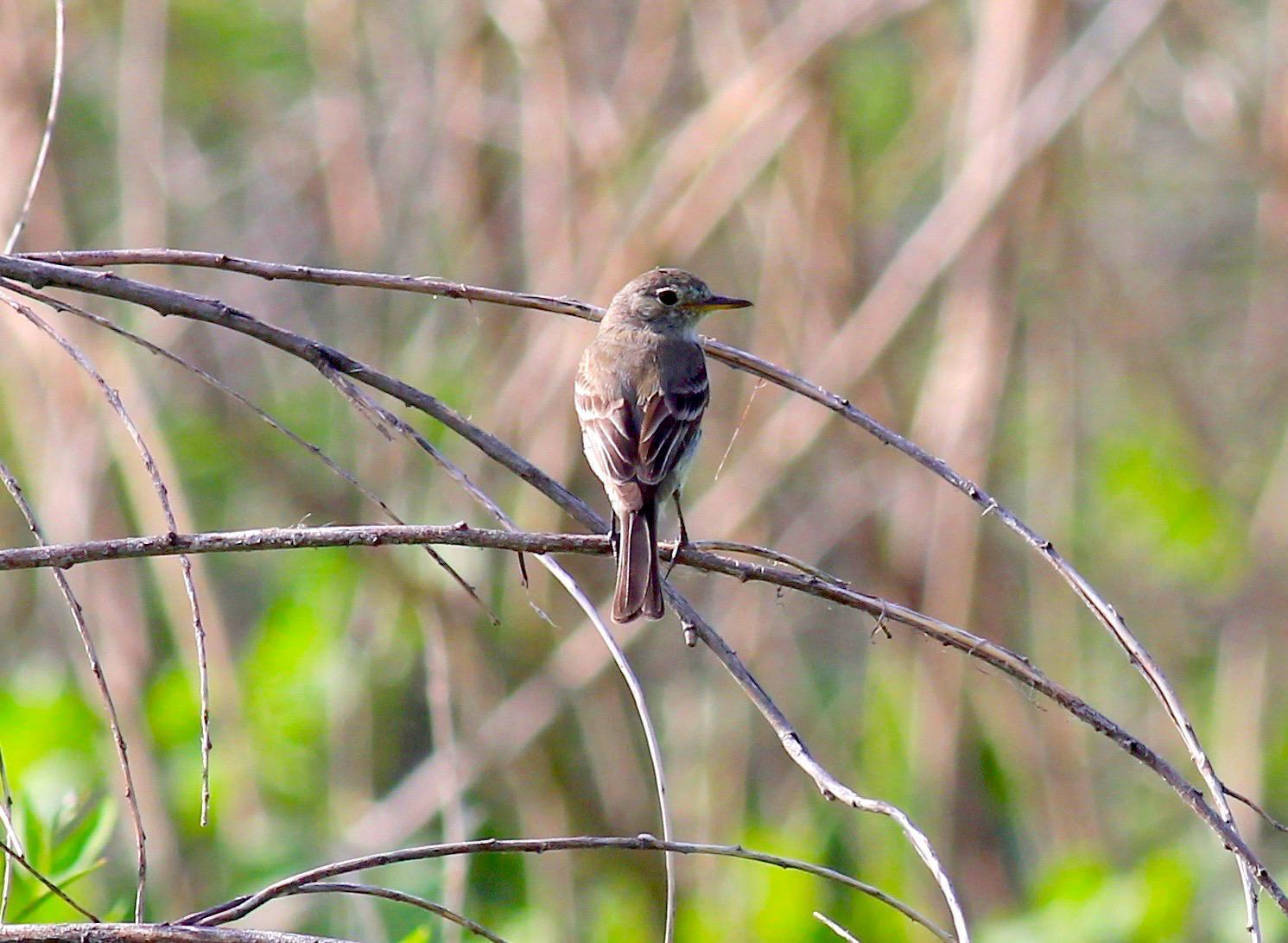 Gray Flycatcher Photo by Kathryn Keith