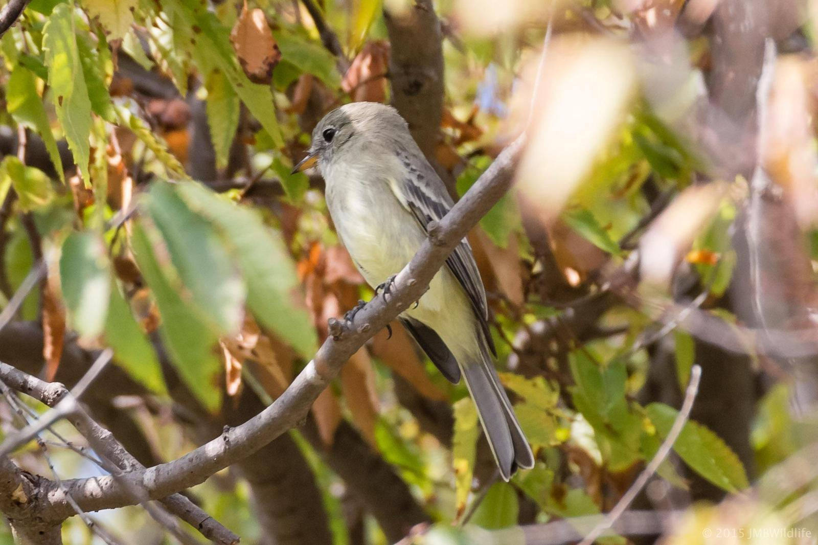 Gray Flycatcher Photo by Jeff Bray