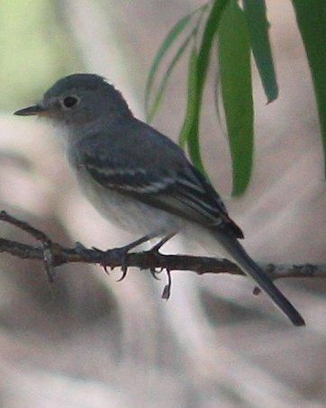 Gray Flycatcher Photo by Andrew Core