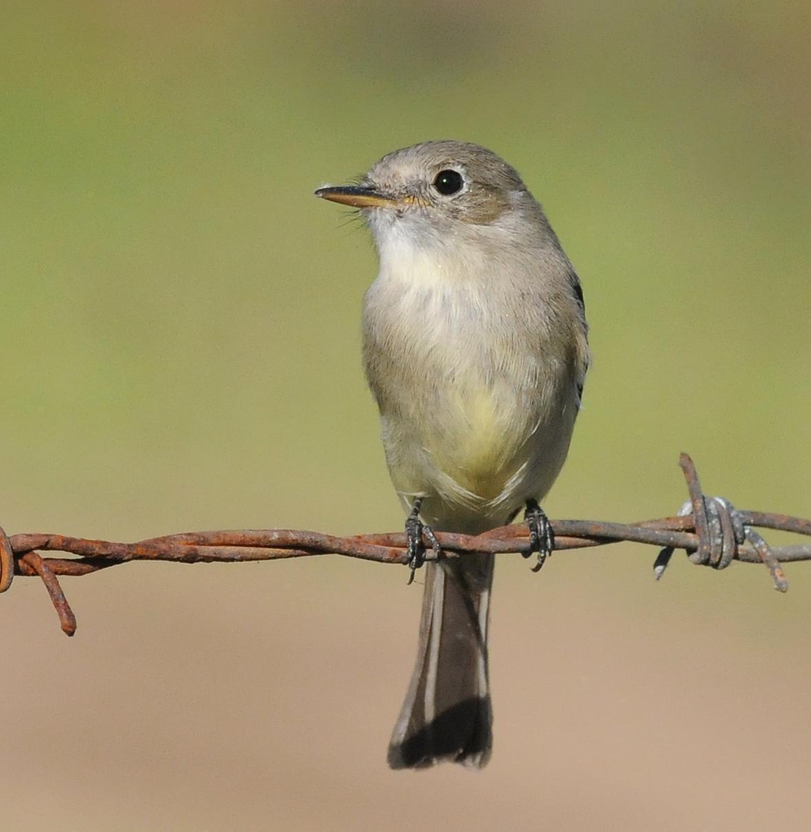 Gray Flycatcher Photo by Steven Mlodinow