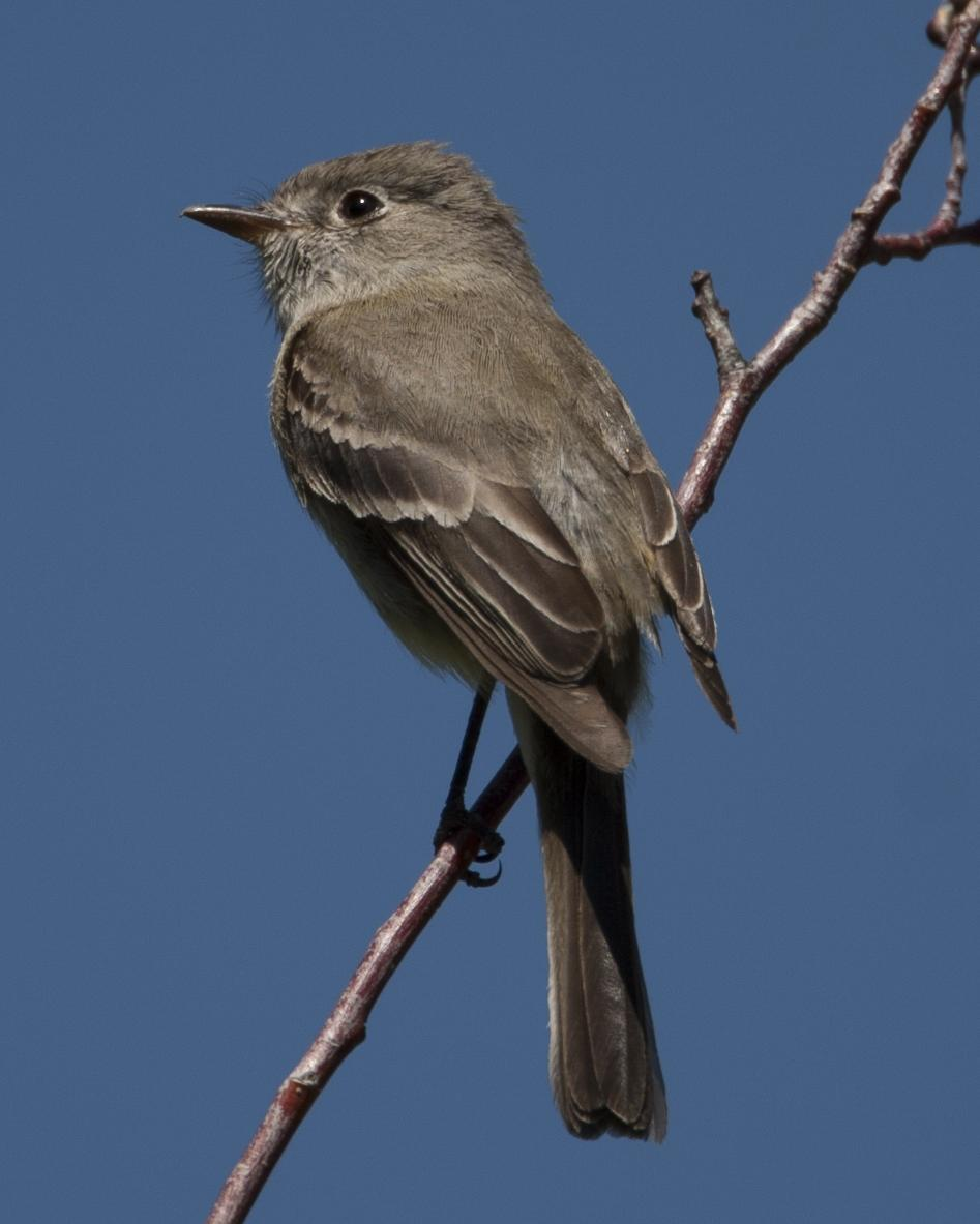 Dusky Flycatcher Photo by Jeff Moore