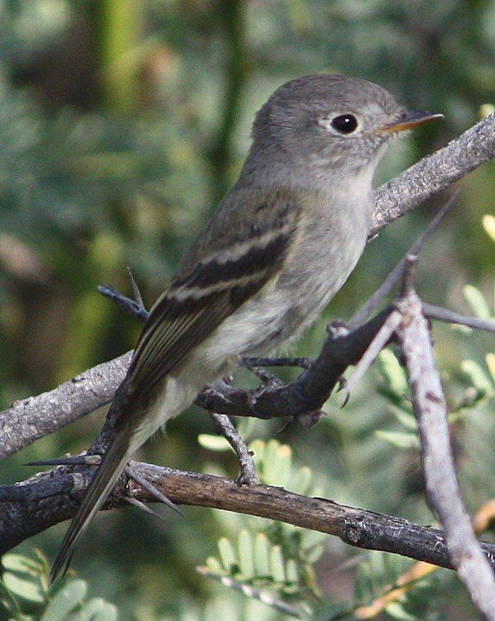 Dusky Flycatcher Photo by Andrew Core