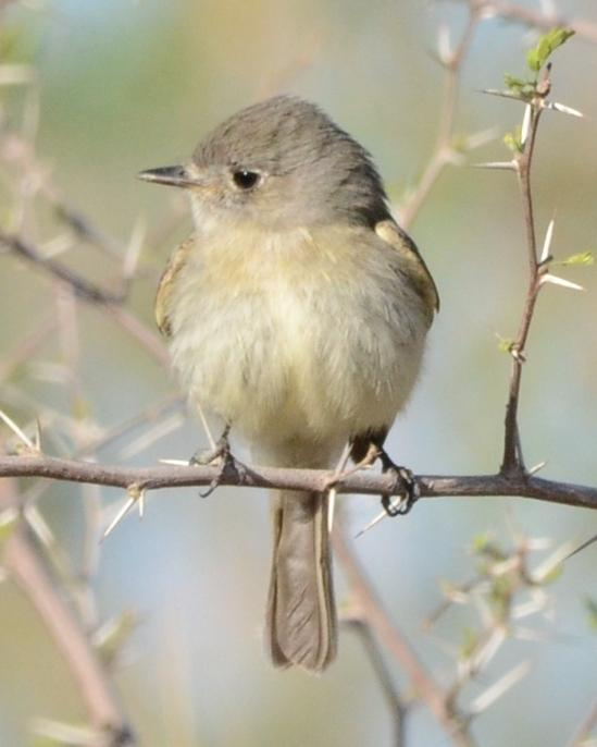 Dusky Flycatcher Photo by Dan Belcher