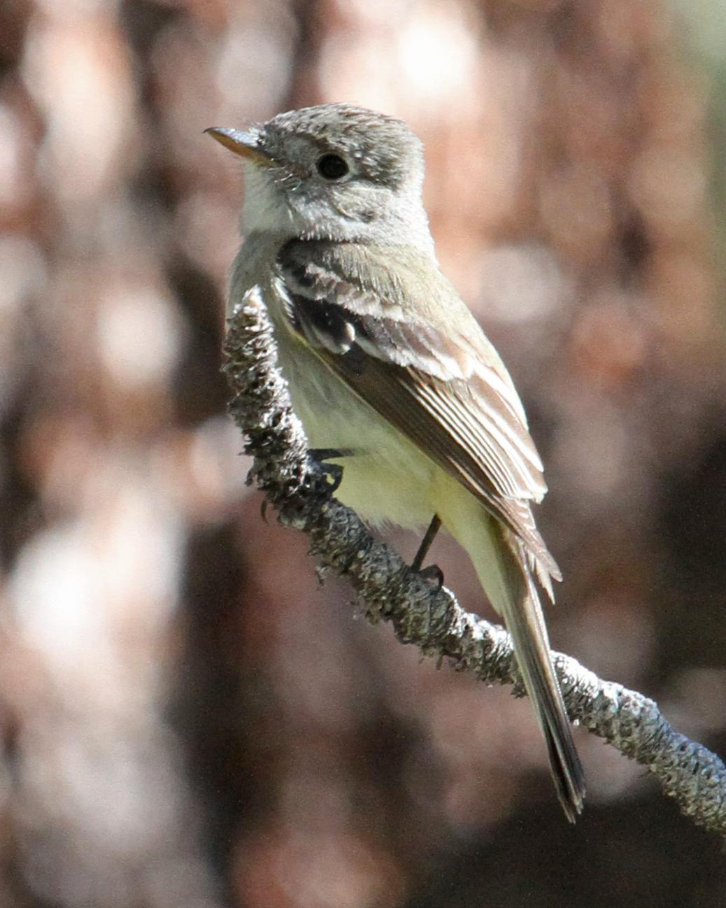 Dusky Flycatcher Photo by Jamie Chavez