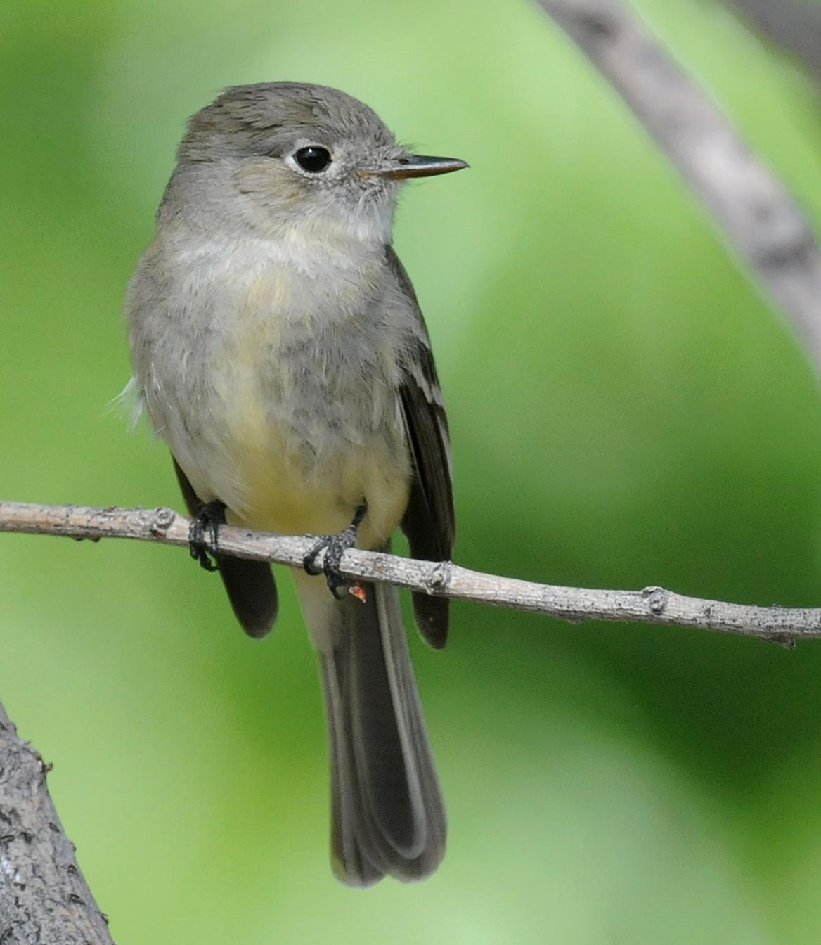 Dusky Flycatcher Photo by Steven Mlodinow