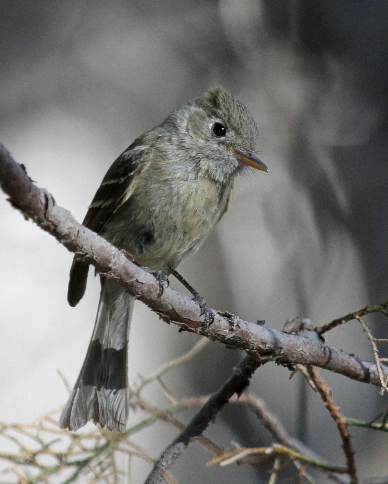 Pine Flycatcher Photo by Matthew Grube