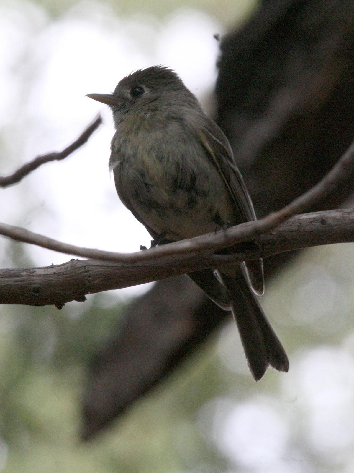Pine Flycatcher Photo by David Sarkozi