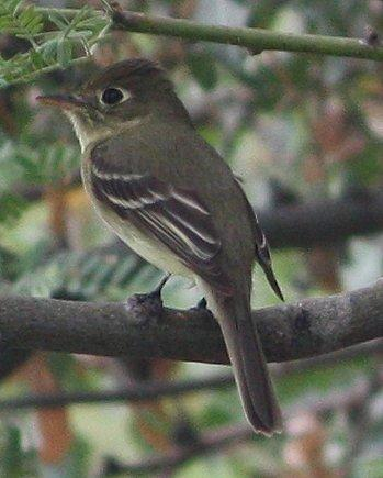 Pacific-slope Flycatcher Photo by Andrew Core