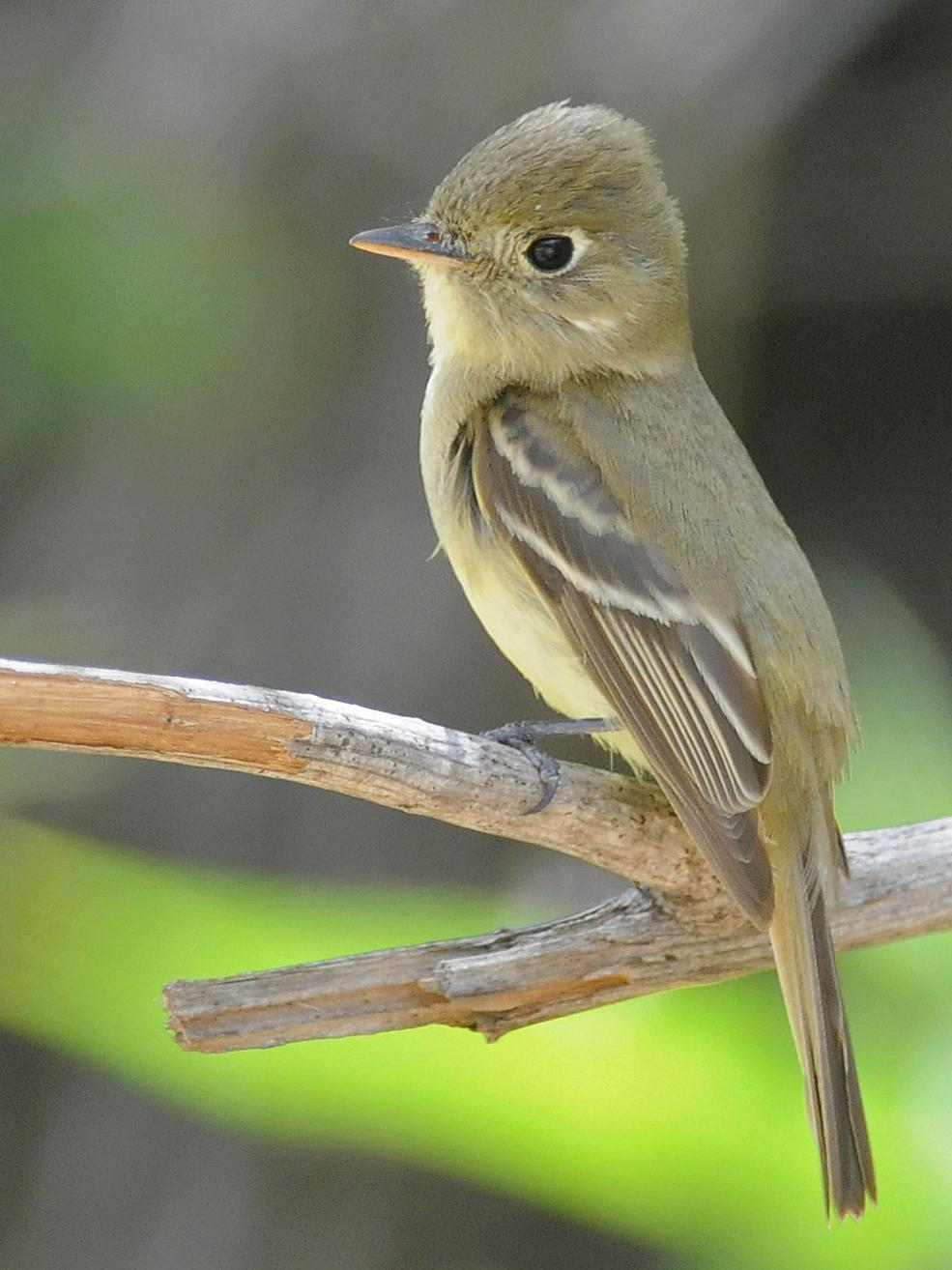 Pacific-slope Flycatcher Photo by Steven Mlodinow