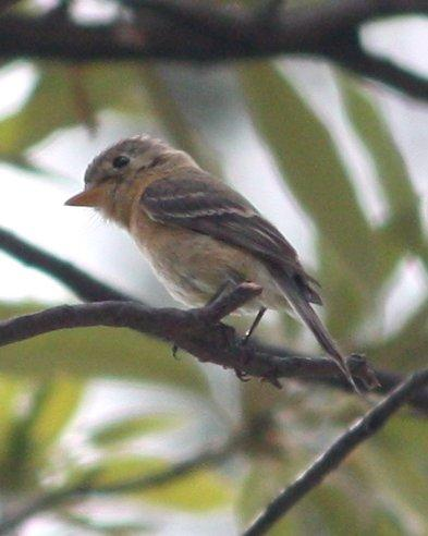 Buff-breasted Flycatcher Photo by Andrew Core
