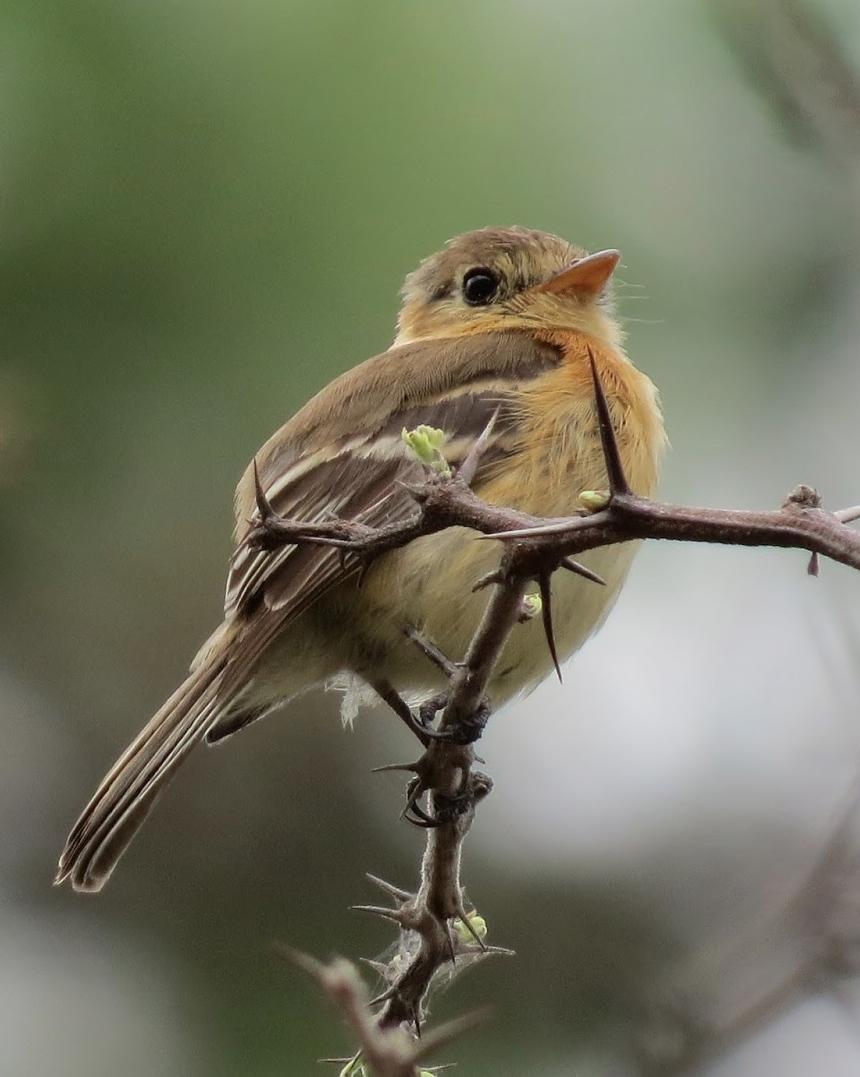 Buff-breasted Flycatcher Photo by John van Dort