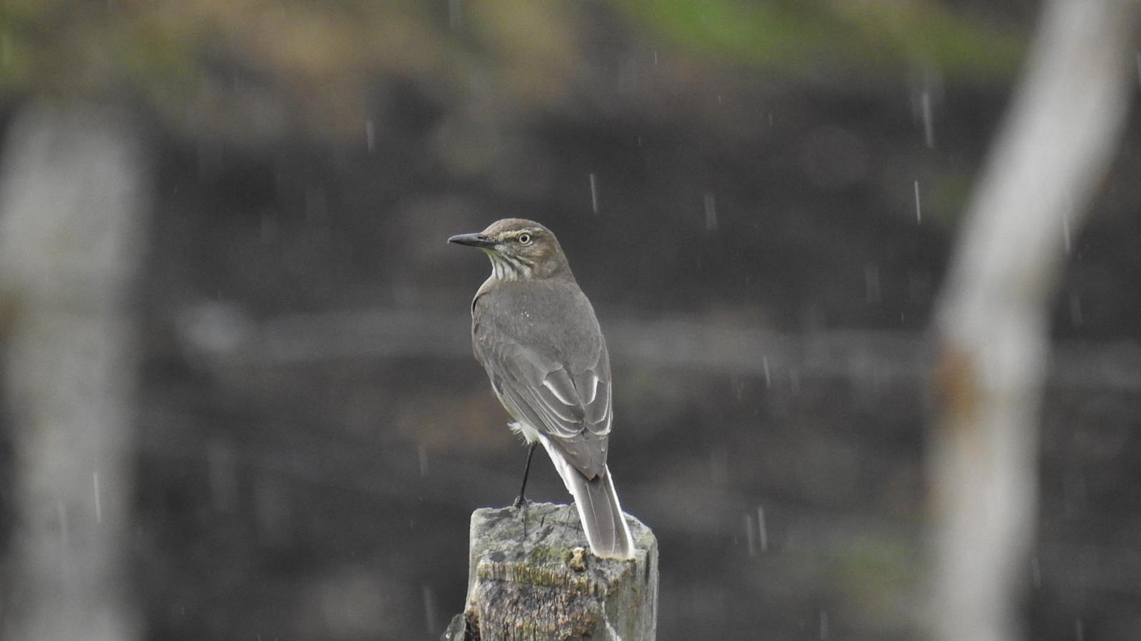 Black-billed Shrike-Tyrant Photo by Julio Delgado